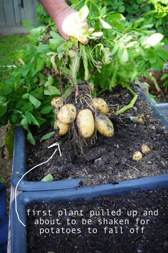 How to Grow Potatoes in a Container !