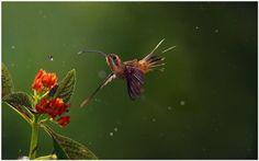 Hummingbird And Flower HD Wallpaper | hummingbird and flower wallpaper