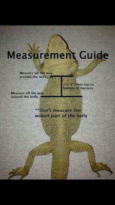 Bearded Dragon harness measurement guide - My list of the most beautiful animals Bearded Dragon Wings, Bearded Dragon Habitat, Bearded Dragon Diet, Reptiles And Amphibians, Cute Reptiles, Reptiles Facts, Dragon Facts, Dragon Memes, Bearded Dragon Enclosure