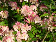 Beautiful rhododendron - deep peachy pink in bud, gradually lightening as it opens