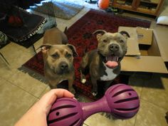 Sabre and Hasbro getting new toys #amstaff #apbt #pitbull #puppies