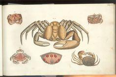 Herbst Crabs & Lobsters Plate VI