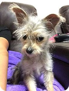 Denver, CO - Yorkie, Yorkshire Terrier/Terrier (Unknown Type, Small) Mix. Meet Bonsai, a puppy for adoption. http://www.adoptapet.com/pet/14644272-denver-colorado-yorkie-yorkshire-terrier-mix