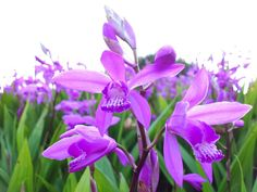 紫蘭:Campanula poscharskyana