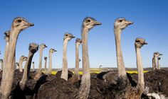 Ostrich Wallpapers HD Desktop Backgrounds Images and Pictures Desktop Background Images, Hd Backgrounds, Wallpapers, Twitter Profile Picture, Twitter Image, Header Pictures, Android, Game Reserve, Big Bird