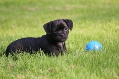 All About Jug Puppies | PetHelpful