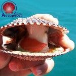Acuapesca is a Peruvian company dedicated to farm, process and market scallops for foreign markets. The scallop's producer supplies Cornic, one of the key companies of the French seafood industry, and European retailers, catering, home and agri-food service with frozen seafood products. Their range of products includes Friend of the Sea certified scallops from Northern Peru.