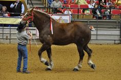 "'Big Jake' ~ Tallest Horse In The World. 6' 10 & 3/4"" at the withers! 
