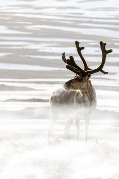 ♂ Amazing nature wildlife photography animals Reindeer in the cold. Beautiful Creatures, Animals Beautiful, Cute Animals, Art Inuit, Animal Photography, Nature Photography, Ange Demon, Mundo Animal, All Gods Creatures