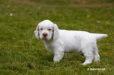 Clumber Spaniel puppy   Clumber Spaniel 8 weeks standing in yard MR MR