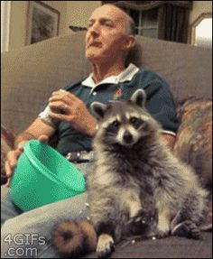 Just a raccoon... chillin'... watching TV... eatin' some popcorn. Oh my gosh this is so cute!