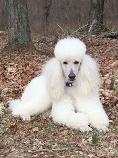 White Standard Poodle - Beautiful Rio