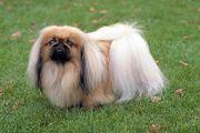 PEQUINÊS - O Pequinês é um cão de origem chinesa, que possui como país patrono a Grã-Bretanha. Algumas lendas envolvem a história e origem desta raça, que é uma das mais antigas do mundo. Com postura elegante, o Pequinês é um cão de companhia por excelência, sendo sempre muito leal e gentil com seus donos  Veja mais em: http://wikicao.com.br/Pequinês