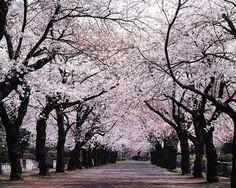 春の桜並木道です。