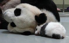 Mother - 圓圓(Yuan-Yuan)  Baby - 圓仔(Yuan-Zai)