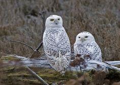 Snowy Owl Boundary Bay B.C.