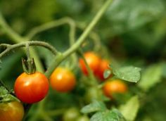 What Temperature Will Damage Tomato Plants? Good reason to not jump the gun on getting those tomatoes in the ground...