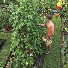 Bamboo makes an inexpensive trellis for training pole beans.  Love the carpet of grass - so neat.