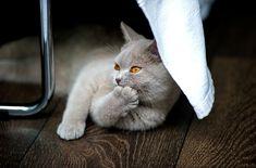 Pixabay의 무료 이미지 - 고양이, 영국 쇼트 헤어, Bkh, 순 혈종의, 아디다스