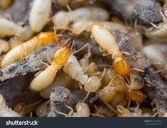 10 Best Termite Or White Ant Images White Ant Termite Treatment Termite Control