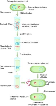 Figure Plasmids such as those carrying genes for resistance to the antibiotic tetracycline (top left) can be separated from the bacterial chromosomal DNA. Biology Lessons, Scientific American, Molecular Biology, Biotechnology, Study Materials, Genetics, Dna, Carry On, Concept Art