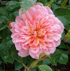 Anne Boleyn ~ English Shrub Rose