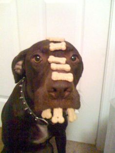 This dog has some self control! #ChocolateLab #GoodDog #Tricks