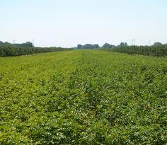 Trifender - fungicid