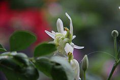 Mehr als 700 Studien Weltweit belegen die gesundheitlich wertvollen Eigenschaften dieser essbaren Pflanze >