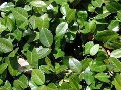 Minima Jasmine Full sun ground cover with small shiny green leaves. It is extremely drought-tolerant. (will grow in shade)