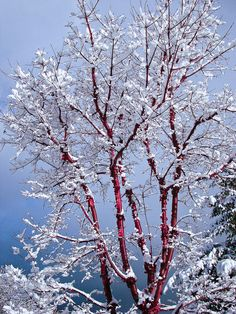 Snow on tree with red bark