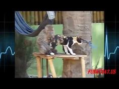 Mono de acoplamiento Gato