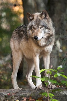 Hourly Wolves (@hourlywolvesbot) / Twitter Wolf Images, Wolf Pictures, Beautiful Wolves, Animals Beautiful, Wolf Poses, Wolf World, Wolf Stuff, Wolf Spirit Animal, Timber Wolf