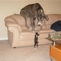 Great Dane and Chihuahua. Chihuahua is winning! Funny Dogs, Funny Animals, Cute Animals, Baby Animals, Cute Puppies, Cute Dogs, Great Dane, Love My Dog, Mundo Animal
