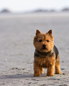 Norwich Terrier - these are cutest little dogs!