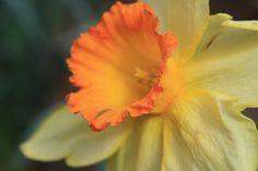 daffodil at Gibbs Garden Ball Ground, GA