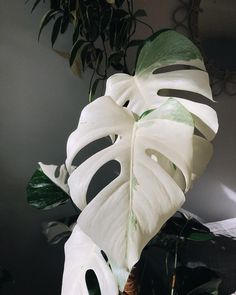 Cheese Plant, Pink Plant, Variegated Plants, Spring Aesthetic, Unique Plants, Tropical Landscaping, Exotic Flowers, Plant Care, Houseplants