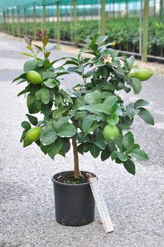 Liefergröße ca. 80-90cm mit Topf. Der immergrüne und sehr beliebte Zitronenbaum- eine wunderschöne und…