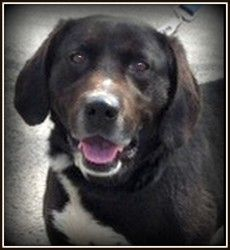 ADOPTED!! Trumbull County Dog Kennel, Warren, OH 330-675-2787 Ray URGENT URGENT is an adoptable Labrador Retriever Dog in Warren, OH. Ray is a sweet and happy dog...left behind when his family moved away.  He is about 6 years old or so, and weighs around 60 lbs....