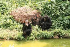 Chimpanzees can live more than 50 years. During their lives, they form lifelong bonds with family and other members of their community.