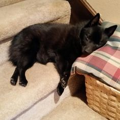 ♡Schipperke♡ Sleepy Schip♡ I love you little Luce Doodle!
