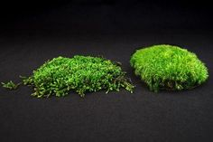 Great information about how to transplant, grow, and care for moss.  Also information about the two main types of mosses, and what the two types require.