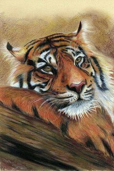 Draw Tigers 'Peaceful Mind' by Olga Dabrowska. Portrait of Sumatran tiger peacefully resting head on a tree log. Created using Derwent colored pencils (Coloursoft and Drawing). Size of the artwork is standard Big Cats Art, Cat Art, Animal Paintings, Animal Drawings, Tiger Art, Color Pencil Art, Wildlife Art, Painting & Drawing, Tiger Painting