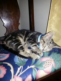 Sleepy guy Marble Bengal Cat, Exotic, Guy, Pets, Animals, Animales, Animaux, Animal, Animais