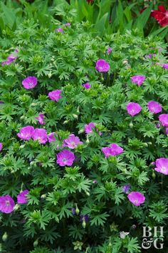 'Max Frei' are long-lasting perennials that stay put from spring to mid-summer with beautiful bright purple and pink blooms. 'Max Frei' are long-lasting perennials that stay put from spring to mid-summer with beautiful bright purple and pink blooms. Garden Planning, Flowers Perennials, Container Gardening, Perennials, Plants, Planting Flowers, Shade Loving Shrubs, Low Maintenance Garden, Gorgeous Gardens