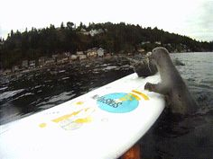 Seals on surfboard