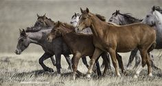 Wild Mares and Foal Run - Fine Art Wild Horse Photograph - Wild Horse - Adobe Town
