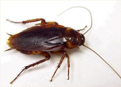 We carry the expertise in managing extremely resistant pests as well. Pests have propelled themselves to a great degree to become extremely resistant to pesticides. As a specialist pest control experts we are equipped for managing the resistant bugs too. Best Pest Control, Pest Control Services, Bug Control, Electronic Pest Control, Roach Killer, Pulling Weeds, Natural Pesticides, Bees And Wasps, Pest Management