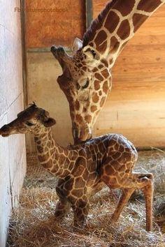 newborn baby giraffe and her mum