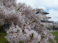 松前城 旅の専門家が選ぶ!今年こそ見たい桜&お花見名所まとめ2014 | [たびねす] by Travel.jp